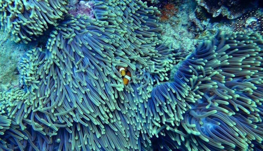 corales azules en australia