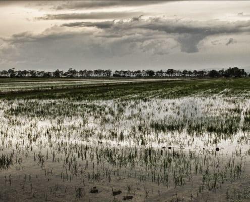 arrozal del delta del ebro